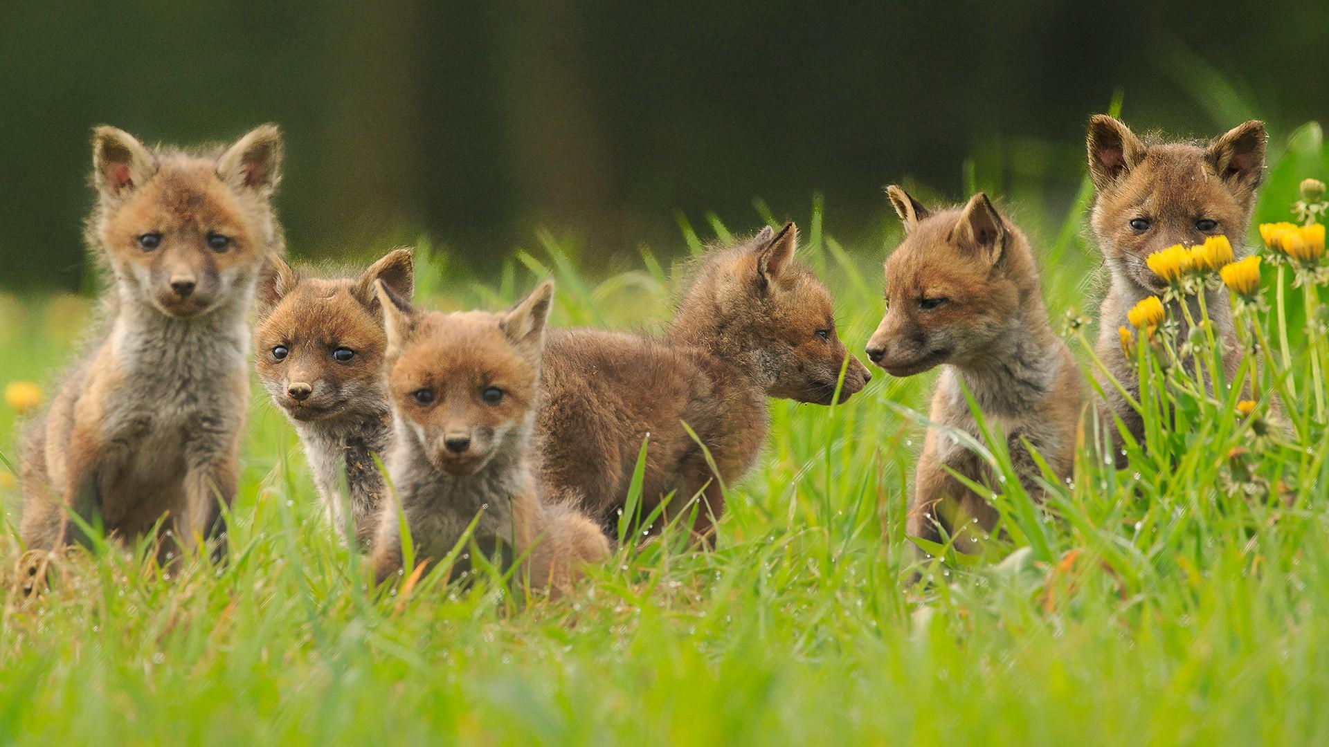 Tirages de renardeaux