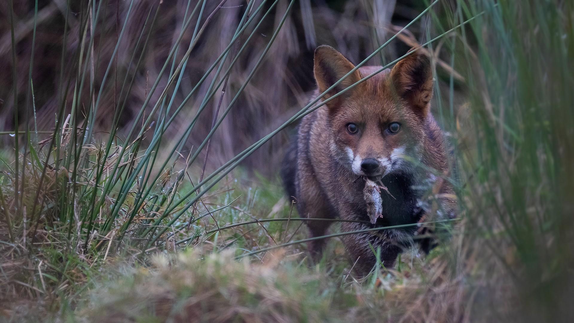 Tirages de renards